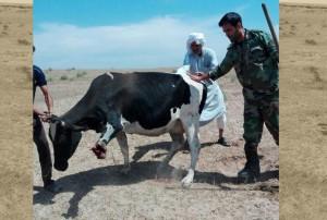 mine-cow